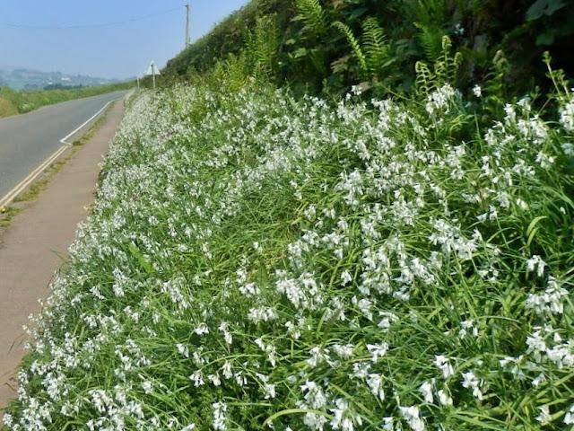 Wild garlic in hedgerows Cornwall