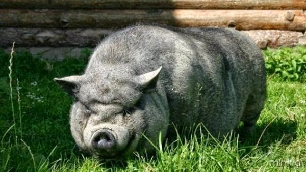 Comido por porcos