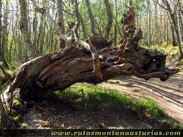 Roble en la ruta de la Cascada de Sotillo