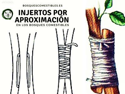 Los Injertos por aproximación se practican cuando es necesario robustecer o rejuvenecer una planta