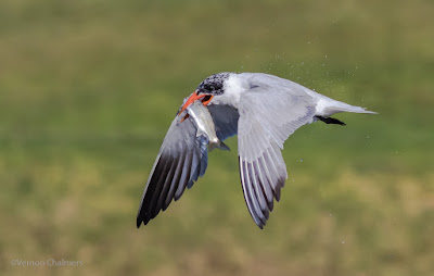 Caspian Tern in Flight : Milnerton Lagoon / Woodbridge Island, Cape Town