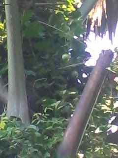 Pohon Buan Markisa