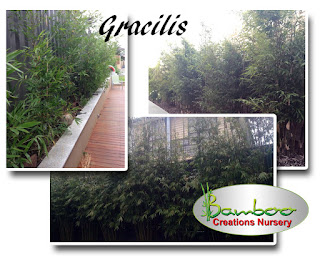 gracilis bamboo on sale over easter 2017 at Bamboo Creations Victoria nursery.