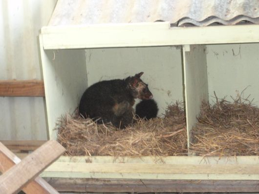 A possum resting in the nest | down to earth