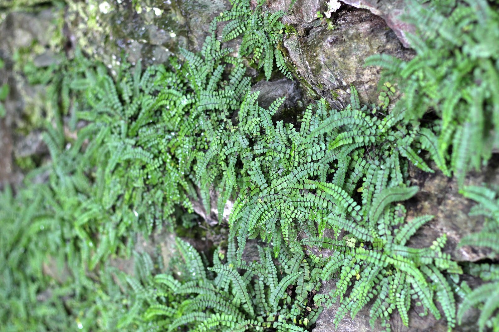 Wall of lush green ferns
