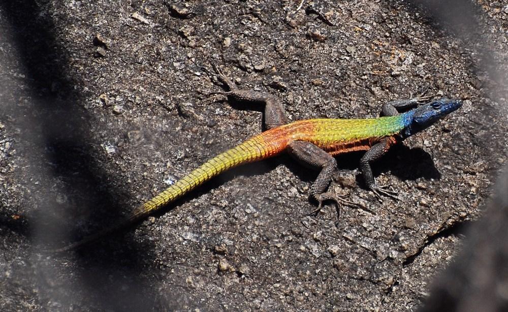 Platysaurus intermedius