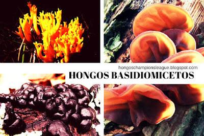 hongos basidiomicetos