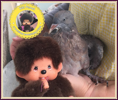 Kiki le vrai et Colombine le bébé pigeon - pigeonneau - oisillon - oiseau - gavage