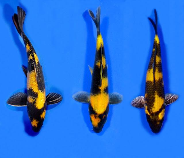 Dunia Ikan Hias - KOI KI UTSURI