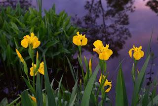 bunga iris kuning cantik