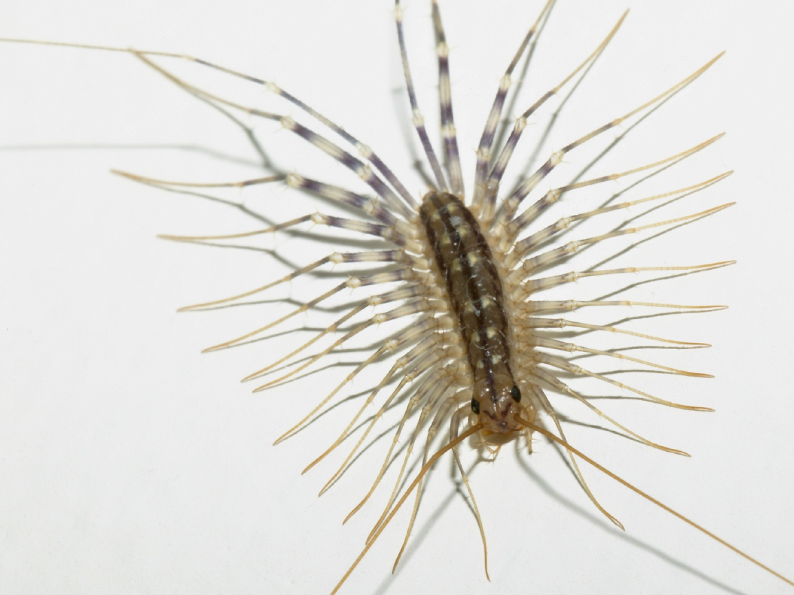 The Science Man S Blog The House Centipede