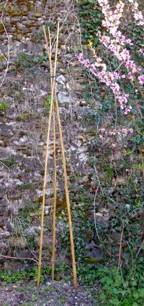 Tuteur en bambou permaculture