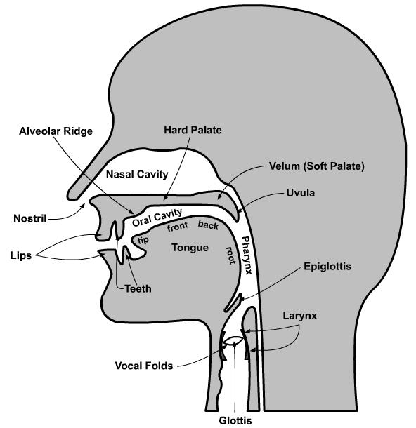Yesha Bhatts Blog The Organs Of Speech