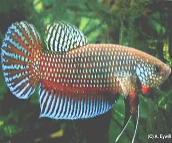 Jenis Ikan Cupang aduan Betta Stiktos