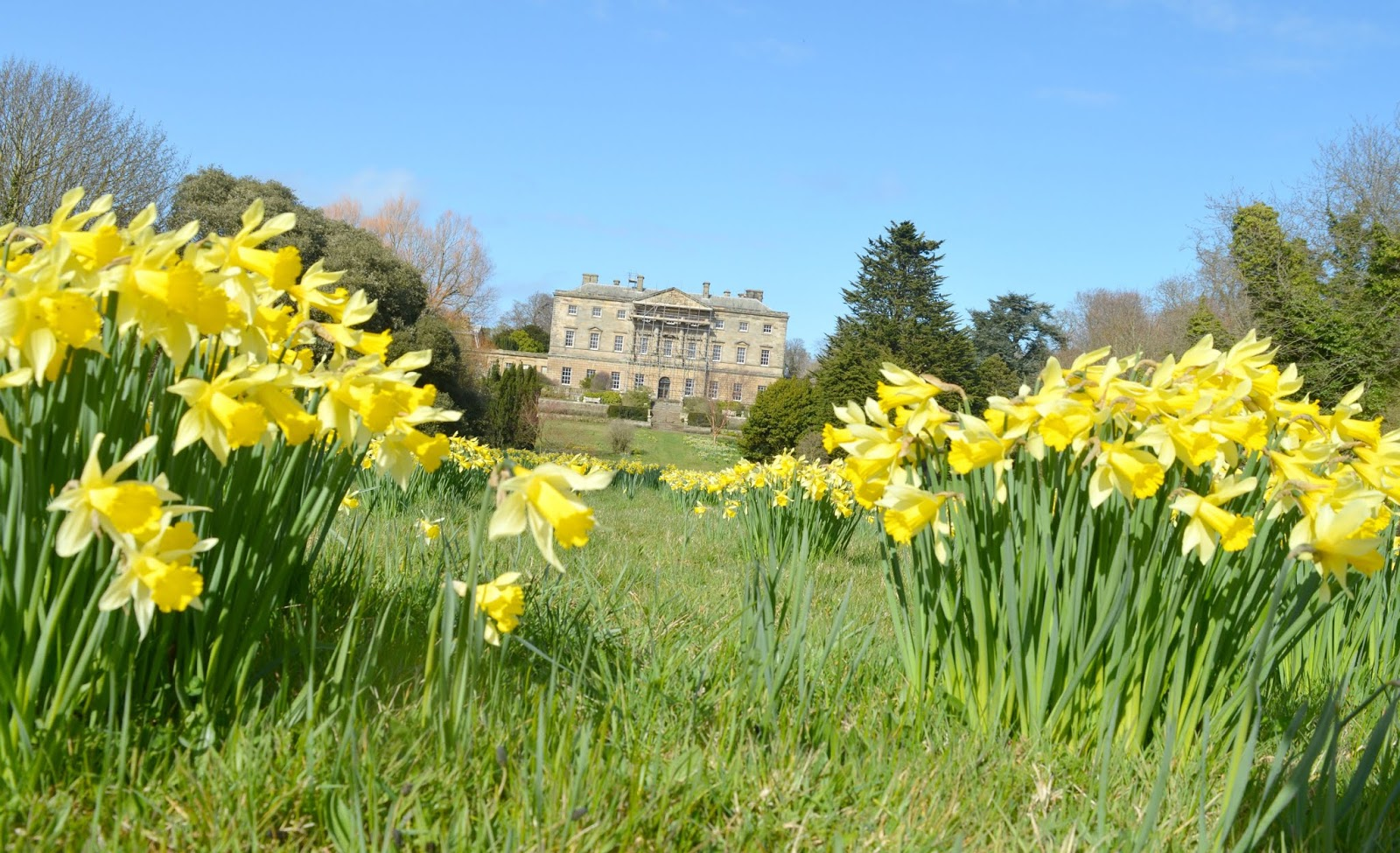 Howick Hall, Northumberland - The Daffodils