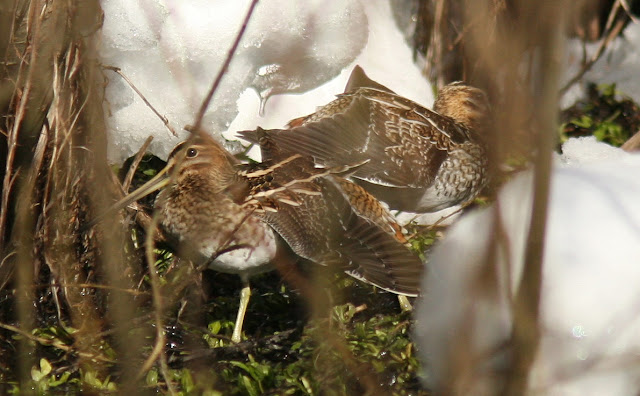 Comparison of Wilson's and Common Snipe secondaries in Newfoundland