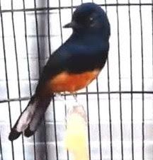 Mengenal Habitat Dan Ciri Ciri Burung Murai Jawa/Larwo Paling Lengkap