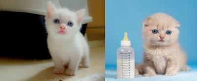 kedilerin hamilelik süreci