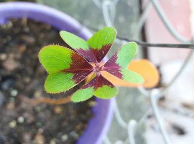 chua me đất - oxalis lá màu