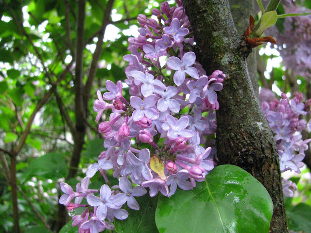 Lilacs-Blooming-in-Farmingdale