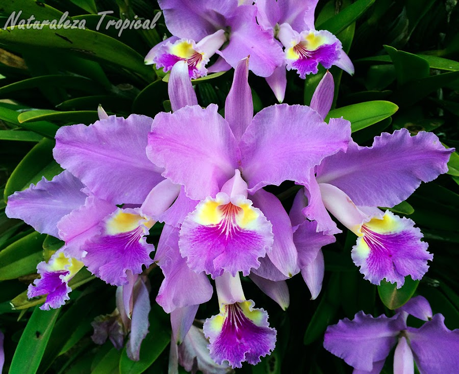 Conjunto de orquídeas Cattleya lueddemanniana