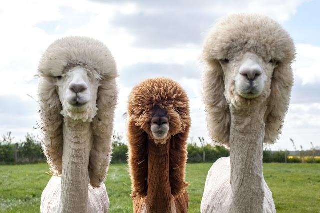 Estas alpacas parecem uma banda de rock dos anos 70