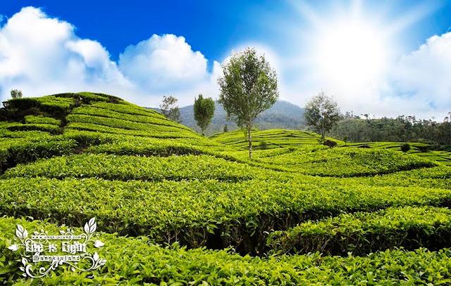 kebun teh Siru patenggan