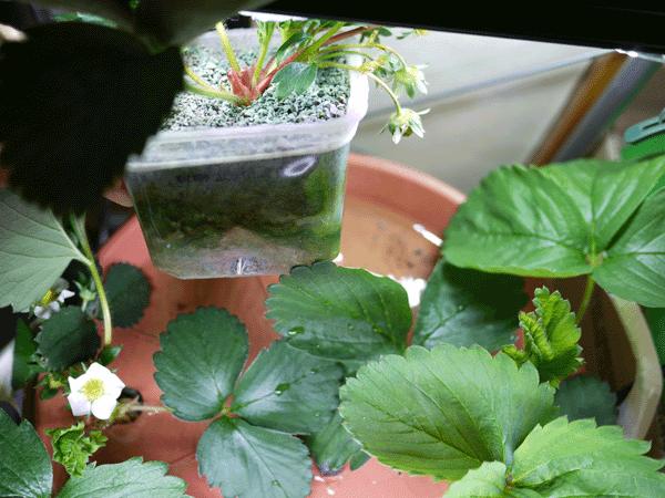 Pandaさんちのいろいろ: LED水耕栽培いちご番外編 太郎苗の礫耕