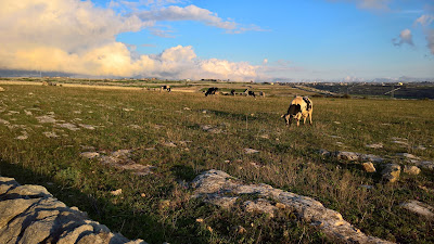 Above Grotta delle Trabacche, cows graze on the Ragusan plain.