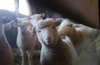 Animal Rape Again-Sheep Sex Report Leads To Search For Elderly Swedish Man