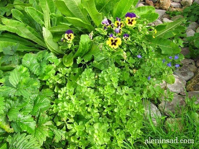очитки, седумы, sedum, вербейник монетчатый, lysimachia nummularia, почвопокровные растения, виола, лобелия, мульча, мульчирование, примула мелкозубчатая, камни, земклуника