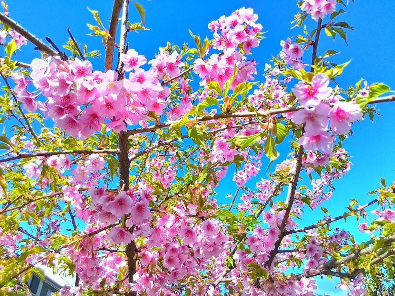 滿意的櫻花配藍天