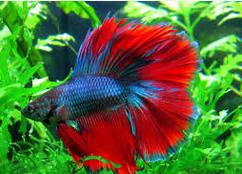 Gambar Ikan Laga Betta splendens  IKAN LAGA