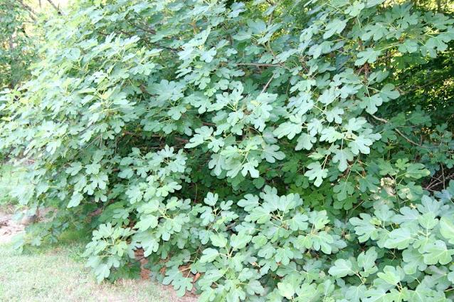 Fig Bush Image