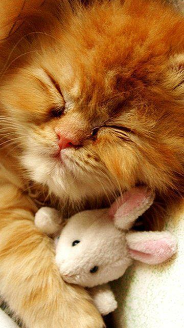 gato dormido con peluche