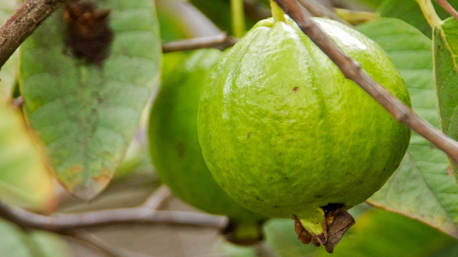 How To Grow Guavas – Three Delicious Guava Varieties