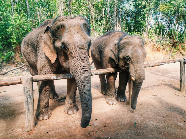 Things to do in Chiang Mai, elephant group