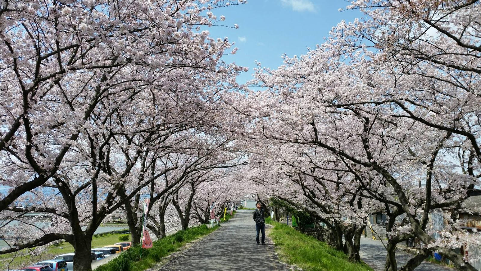 桜 きれい