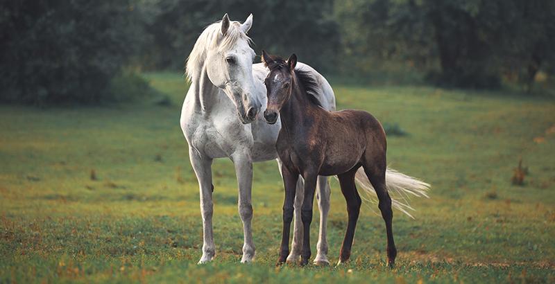 Préserver le confort musculaire des chevaux