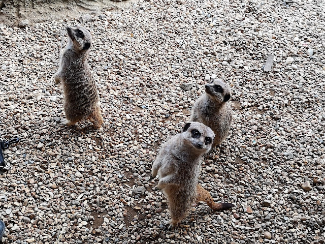 Three meerkats