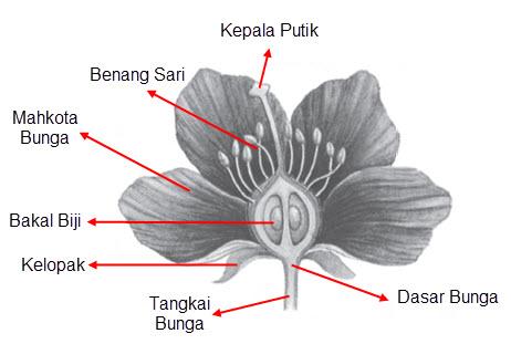 58 Gambar Bagian Bunga Melati Dan Cara Penyerbukan Gokil
