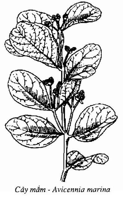 Hình vẽ Cây Mắm - Avicennia marina - Nguyên liệu làm thuốc Đắp vết thương Rắn Rết cắn