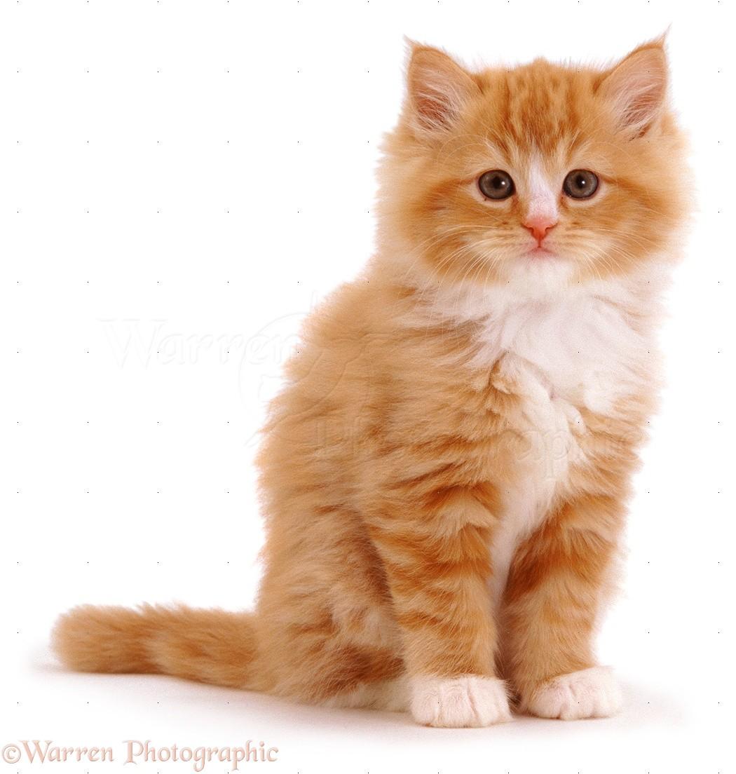 349 best Orange Cats - My Favorite images on Pinterest ...  |Fluffy Orange Kittens