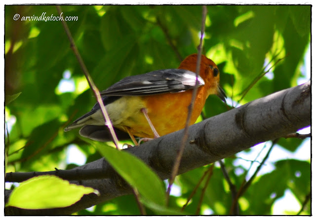 Orange-headed Thrush. Back