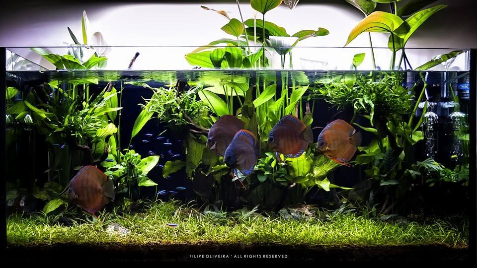 bể thủy sinh nuôi cá dĩa tuyệt đẹp của tác giả Filipe Oliveira