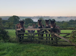 Exmoor Ponies - and Donk!