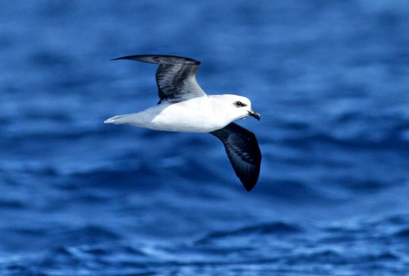 White headed Petrel