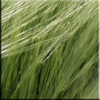 Arpa fiyatları rüyada Arpa tam Arpa rüyada Arpa görmek kırmızı Arpa buğday tanesi arpa Arpa çorbası Arpa salatası Arpa ekmeği