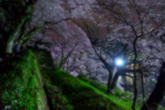 北の丸公園(千代田区)の夜桜