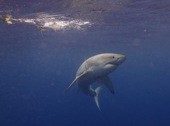 Ever Wonder Why You Don't See Great Whites In Aquariums? These Are The Reasons Why